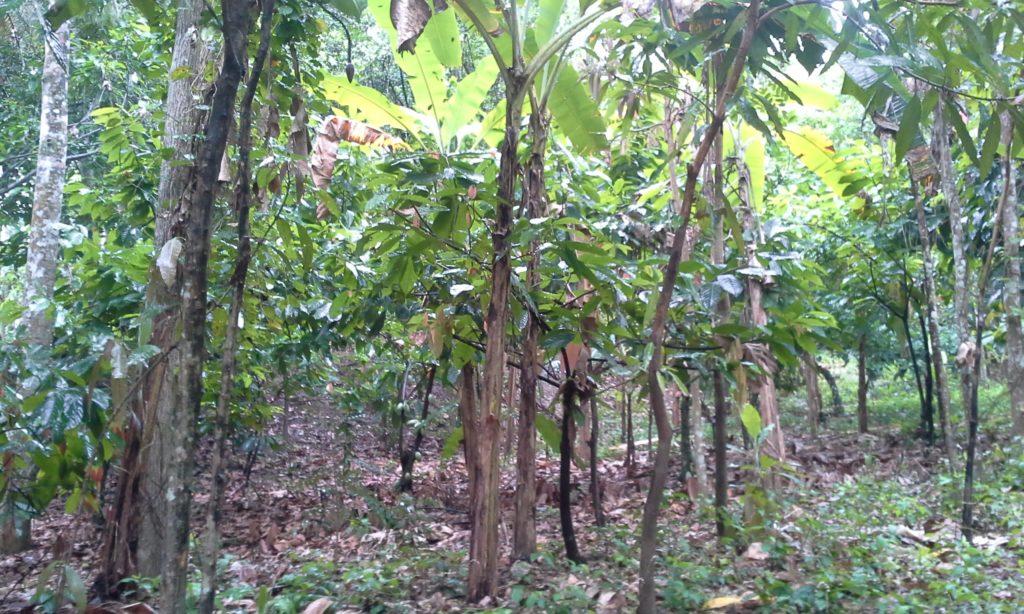 Plantations en Haïti